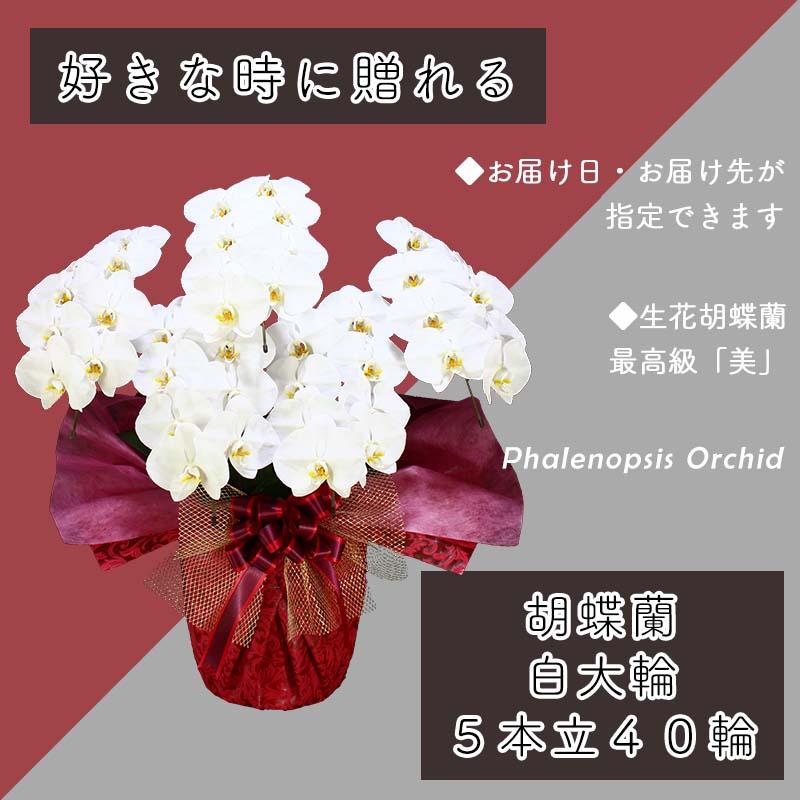 099H384 5本立て白色胡蝶蘭40輪〜50輪