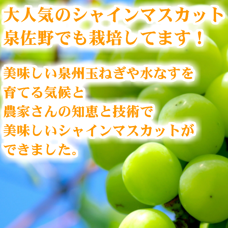 099H163 シャインマスカット1kg 泉佐野産