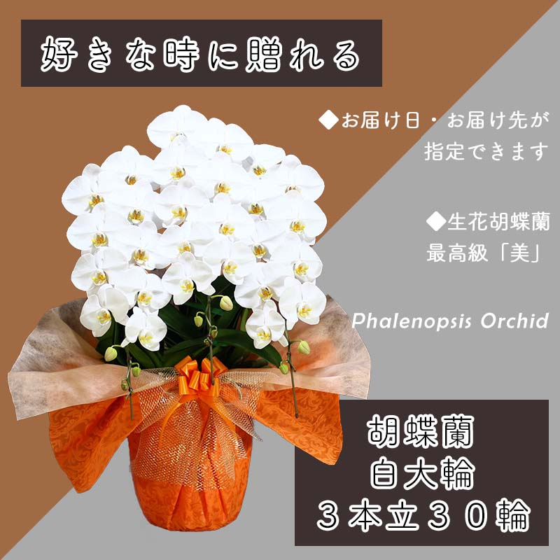 099H379 3本立て白色胡蝶蘭30輪〜33輪