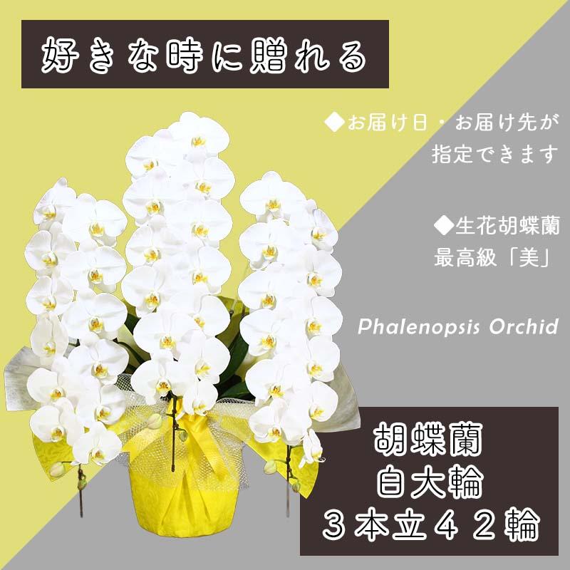 099H383 3本立て白色胡蝶蘭42輪〜45輪