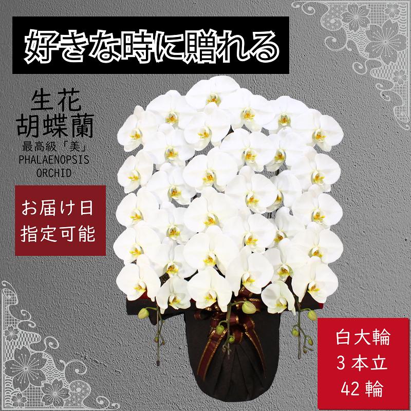 099G065 3本立て白色胡蝶蘭42輪〜45輪